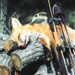 fox_leon